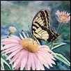 "SWALLOWTAIL ON ECHINACEA -- Artist: Karen Hummel Size: 20"" x 16"" Medium: Watercolor Price: $200.00"