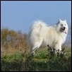 Samoyed Puffery