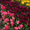 "TULIP OVERLOAD -- Artist: Linda Hanley Size: 24"" x 8"" Medium: Photography Price: $210.00"