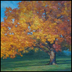 Ash Tree in Fall - Historic Hyde Park