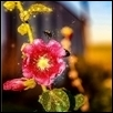 "BEE ON A FLOWER -- Artist: Nate Evans Size: 27.5"" x 19"" Medium: Photography Price: $80.00 ***SOLD***"