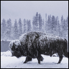 Bison in the Snowstorm