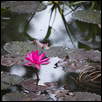 Purity and Devotion of the Lotus Flower in India