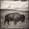 American Bison in Profile, Flint Hills