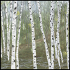 "WHITE ASPENS -- Artist: carolyn henson Size: 20"" x 24"" Medium: Oil Price: $800.00"