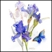 Botanical Blue Iris and Butterfly