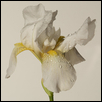 "WHITE IRIS -- Artist: Lawrence Lehman Size: 16"" x 20"" Medium: Photography Price: $200.00"