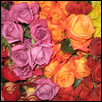 "ROSES ARE RED, AND YELLOW, AND... -- Artist: Sherri Haupert Size: 34"" x 22"" Medium: Photography Price: $164.00"